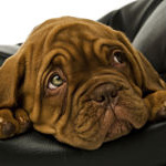 Cute wrinkly puppy
